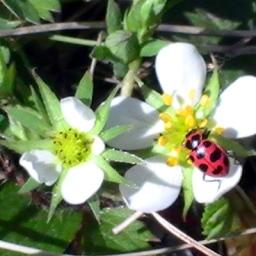 Spotted Lady Beetle (Coleomegilla maculata)