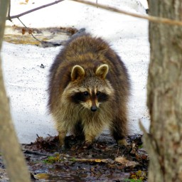 Racoon Between Trees