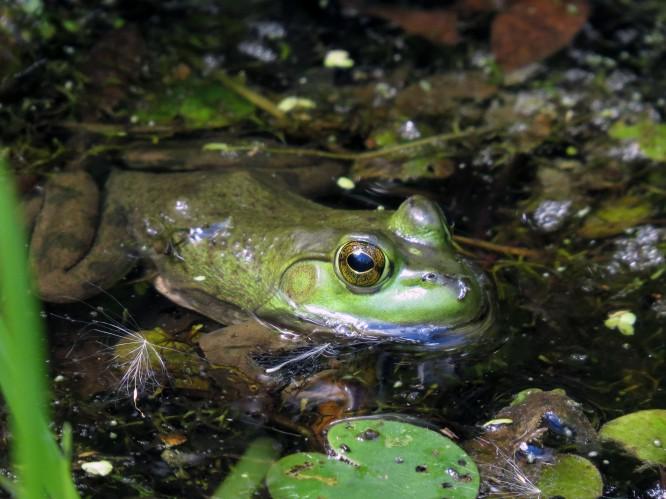 Bullfrog, juvenile