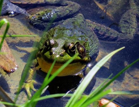 Green-Frog (Lithobates clamitans melanota) (Male)