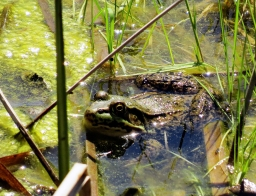 Green-Frog (Lithobates clamitans melanota) (Female)
