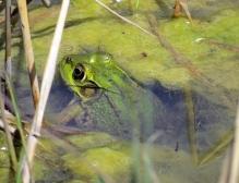 Green-Frog (Lithobates clamitans melanota) (Female)