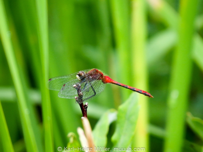 Dragon Fly (Anisoptera)