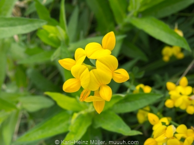 Bird's Foot Trefoil (Lotus corniculatus)