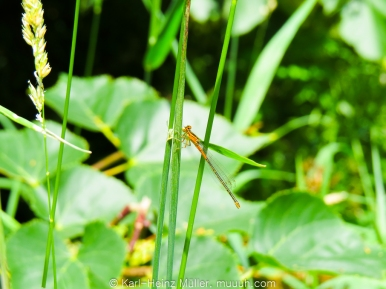 Damselfly, brownish