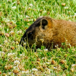 Groundhog (Marmota manox)