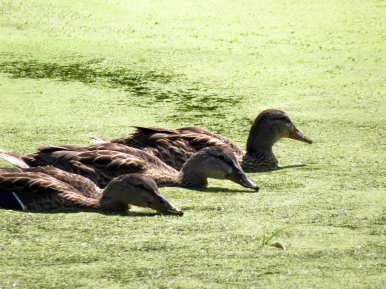 Feeding Ducks Parc-nature de la Pointe-aux-Prairies