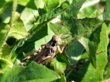 Grasshopper Parc-nature de la Pointe-aux-Prairies