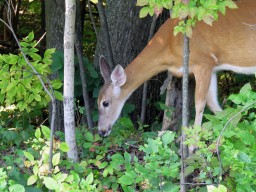 White-Tailed Deer at Parc Michel-Chartrand