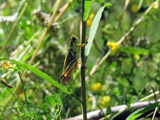 Two-Striped Grasshopper (Melanoplus bivittatus)