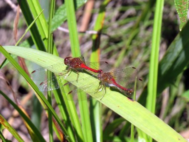 Autumn Meadowhawk (Sympetrum vicinum)