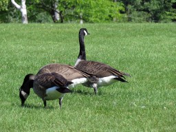 Couple of Geese Parc Marc-Chartrand