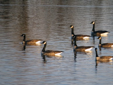 Group of Geese Park Rapids Lachine
