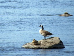 Goose on Rock Riviere des Prairies