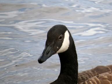 Close Goose Riviere des Prairies