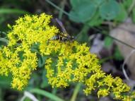 Paper Wasp (Polistes fuscatus)