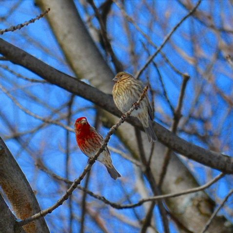 Couple of House Finches