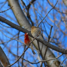 Couple of House Finches Approaching
