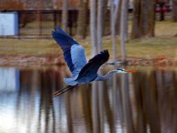 Great Blue Heron Flying