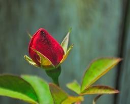 Red Rose Closed