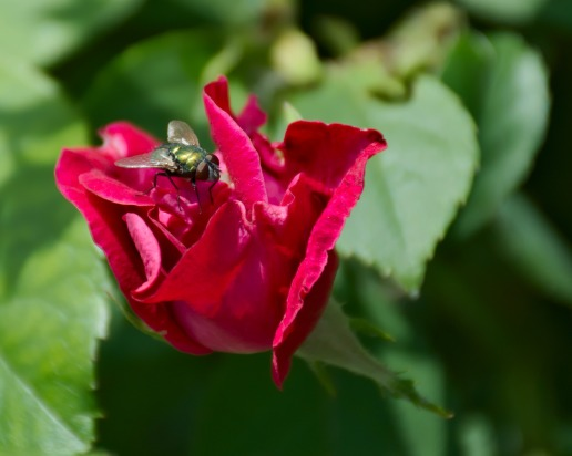 Red Rose with Fly