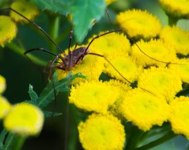 Harvestmen (Opiliones)