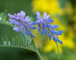 Blue Flower on Yellow Background