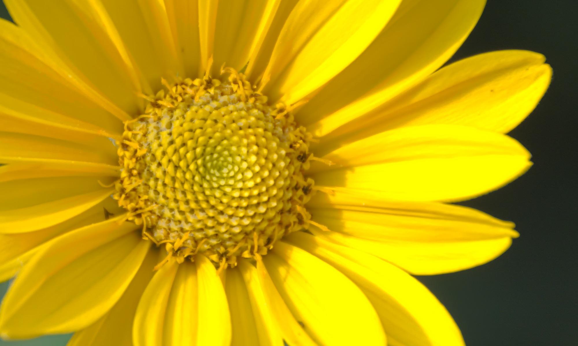 Marguerite Daisy (Argyranthemum)
