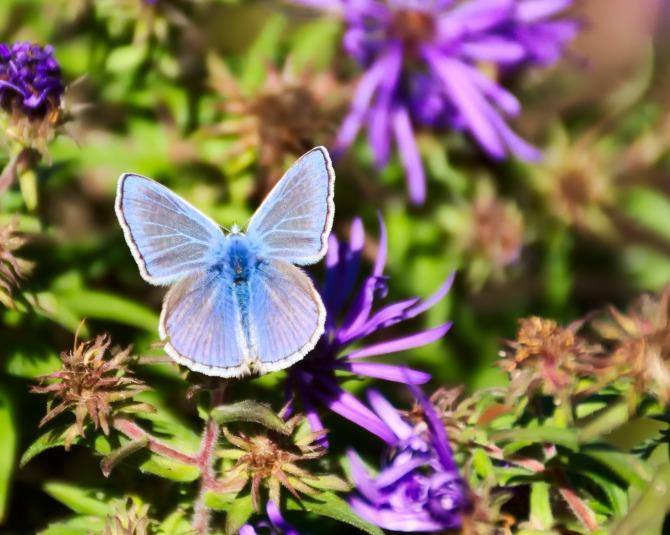 European Common Blue (Polyommattus icarus)