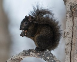 Black Eastern Grey Squirrel (Sciurus carolinensis)