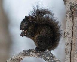 Black Eastern Grey Squirrel (Sciurus carolinensis)