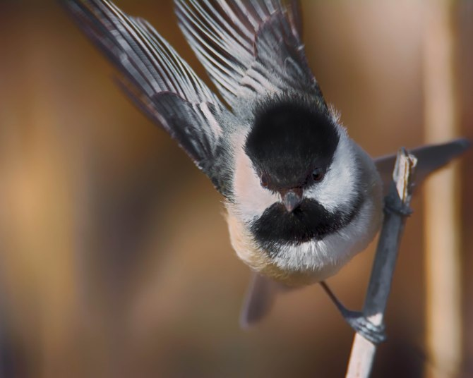 Taking Off - Black-capped Chickadee (Poecile atricapillus)