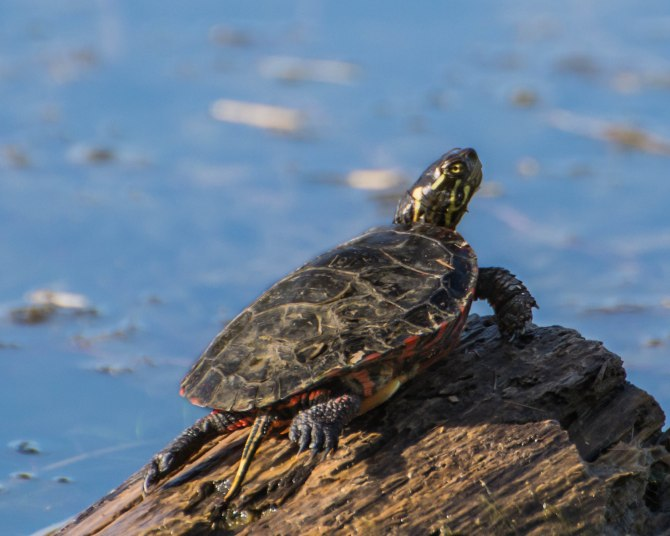 Sitting on a trunk, just outside the water, enjoying the sun meanwhile ready to escape back into the water anytime.