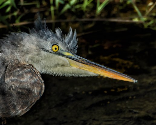 Watching a juvenile Great Blue Heron during a cleaning procedure.
