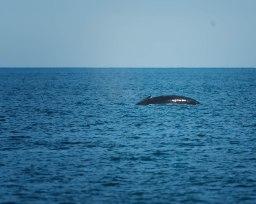 Common Minke Whale (Balaenoptera acutorostrata)