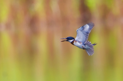 Belted Kingfisher (Megaceryle alcyon) – Version 2