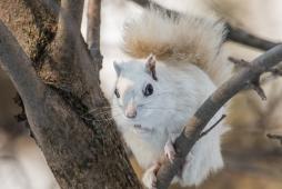 White Eastern Grey Squirrel (Sciurus Carolinensis)