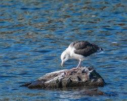 Great Black-backed Gull (Larus marinus)