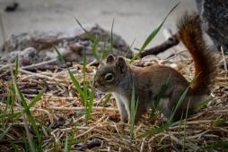American Red Squirrel (Tamiasciurus hudsonicus)