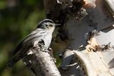 Black-and-White Warbler (Mniotilta varia)