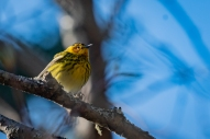 Cape May Warbler (Dendroica tigrina)