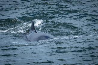 Northern Minke Whale (Balaenoptera acutorostrata)