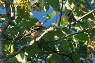 Common Chaffinch (Fringilla coelebs) [de: Buchfink]
