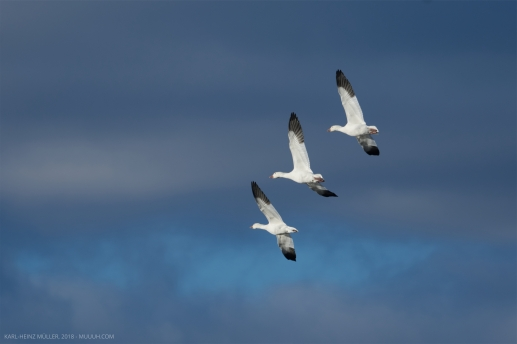 Three Snow Geese in Sync